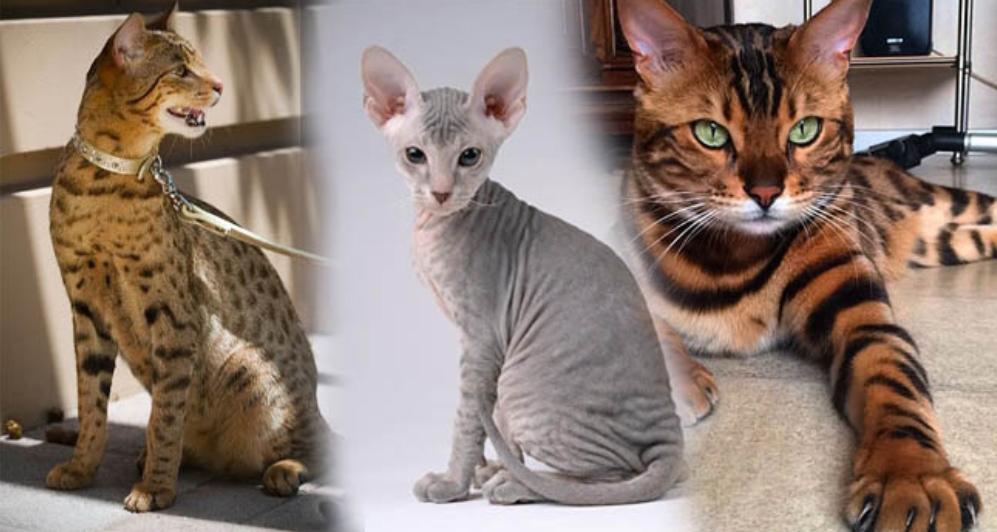 Bisa Sampai 1 7 Miliar Rupiah Ini 7 Jenis Kucing Paling Mahal Di Dunia Paragrafnews Com